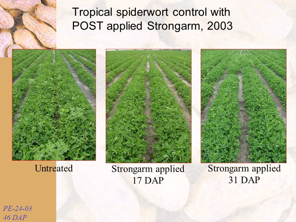 Untreated Strongarm applied 17 DAP Strongarm applied 31 DAP PE-24-03 46 DAP Tropical spiderwort control with POST applied Strongarm, 2003