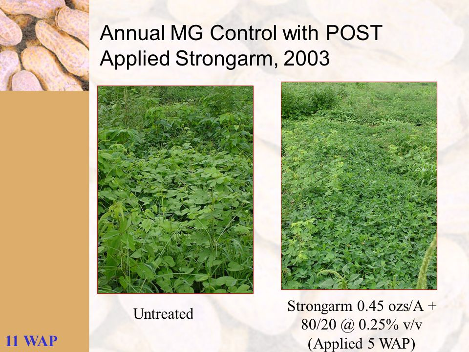 Untreated Strongarm 0.45 ozs/A + 80/20 @ 0.25% v/v (Applied 5 WAP) 11 WAP Annual MG Control with POST Applied Strongarm, 2003