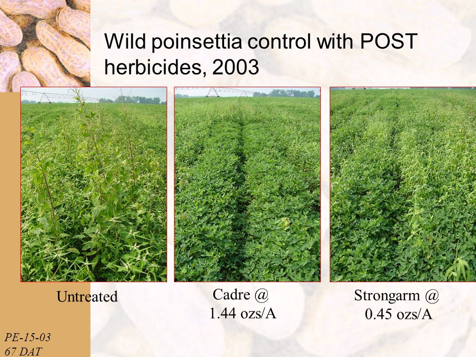 PE-15-03 67 DAT Wild poinsettia control with POST herbicides, 2003 Untreated Cadre @ 1.44 ozs/A Strongarm @ 0.45 ozs/A