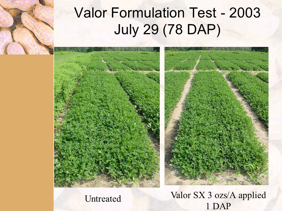 Valor Formulation Test - 2003 July 29 (78 DAP) Untreated Valor SX 3 ozs/A applied 1 DAP