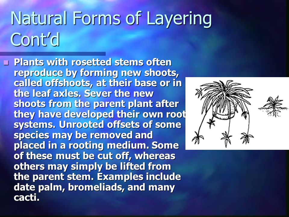 Natural Forms of Layering Contd Plants with rosetted stems often reproduce by forming new shoots, called offshoots, at their base or in the leaf axles