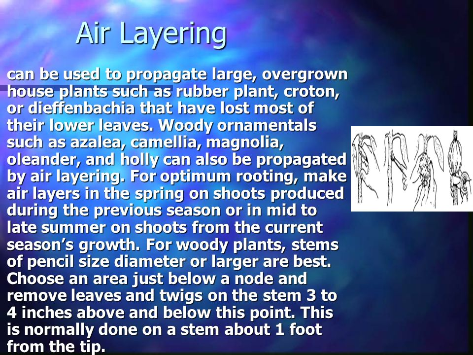 Air Layering can be used to propagate large, overgrown house plants such as rubber plant, croton, or dieffenbachia that have lost most of their lower