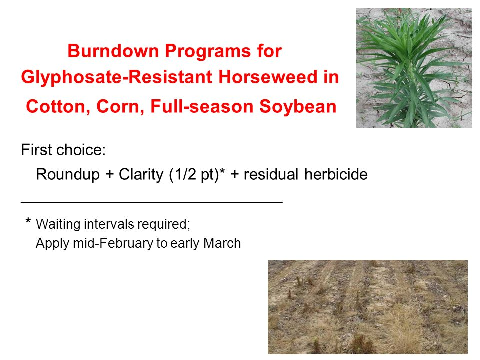 Burndown Programs for Glyphosate-Resistant Horseweed in Cotton, Corn, Full-season Soybean First choice: Roundup + Clarity (1/2 pt)* + residual herbicide ____________________________________________ * Waiting intervals required; Apply mid-February to early March