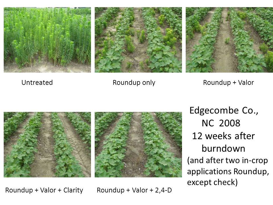 Untreated Roundup only Roundup + Valor Edgecombe Co., NC 2008 12 weeks after burndown (and after two in-crop applications Roundup, except check)