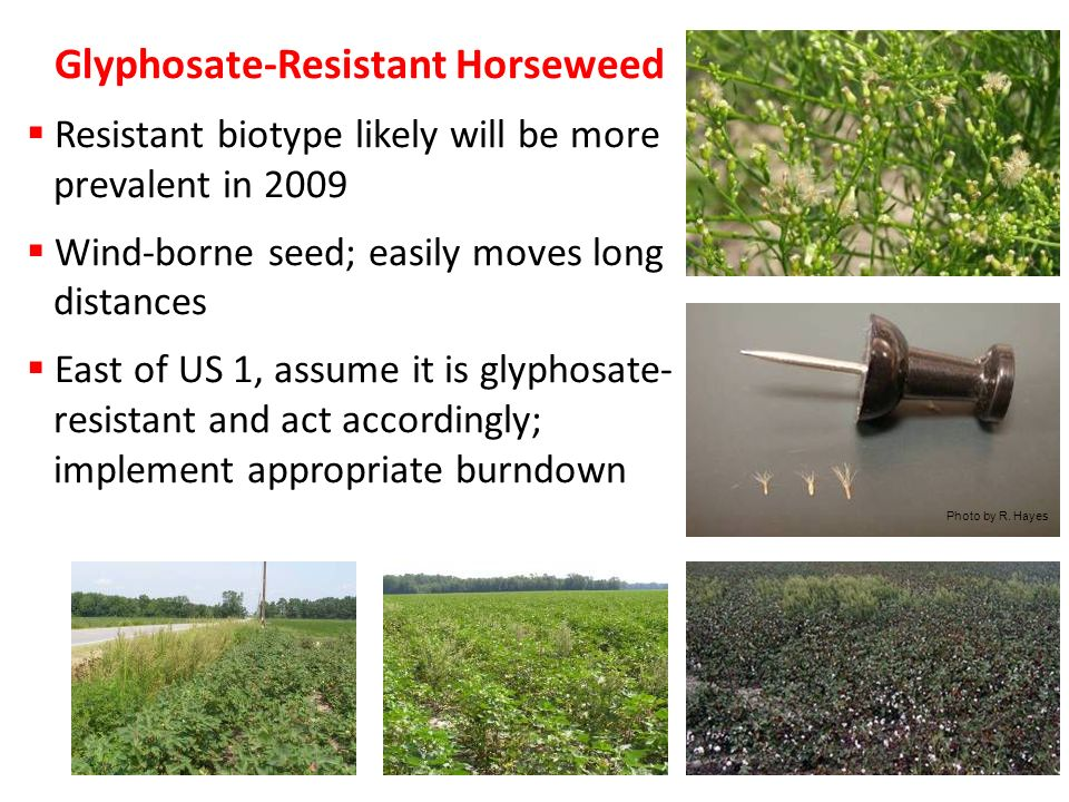 Glyphosate-Resistant Horseweed Resistant biotype likely will be more prevalent in 2009 Wind-borne seed; easily moves long distances East of US 1, assume it is glyphosate- resistant and act accordingly; implement appropriate burndown program Photo by R.