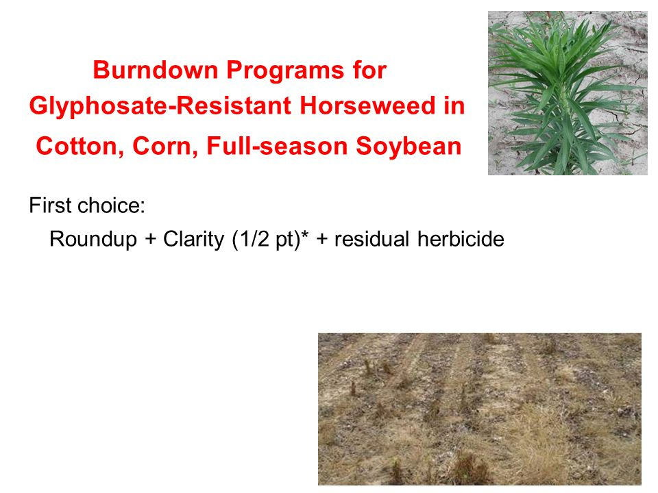 Burndown Programs for Glyphosate-Resistant Horseweed in Cotton, Corn, Full-season Soybean First choice: Roundup + Clarity (1/2 pt)* + residual herbicide