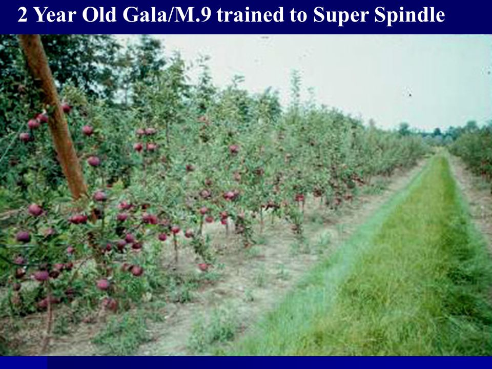 2 Year Old Gala/M.9 trained to Super Spindle