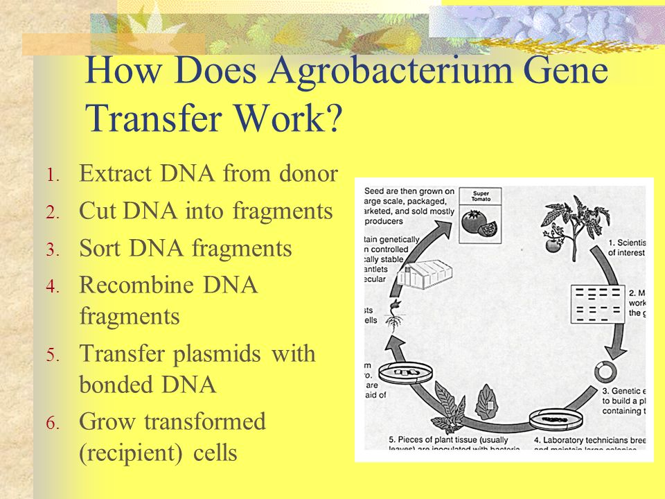 How Does Agrobacterium Gene Transfer Work? 1. Extract DNA from donor 2. Cut DNA into fragments 3. Sort DNA fragments 4. Recombine DNA fragments 5. Tra
