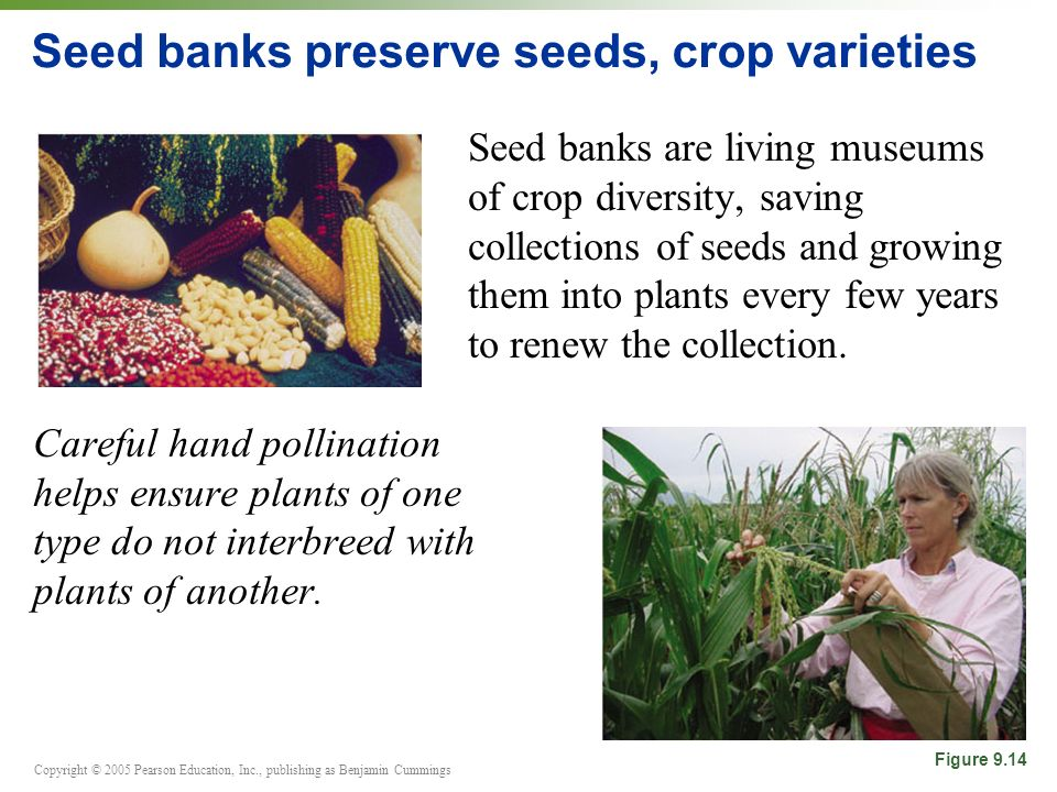 Copyright © 2005 Pearson Education, Inc., publishing as Benjamin Cummings Seed banks preserve seeds, crop varieties Seed banks are living museums of c