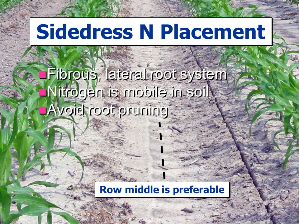 Sidedress N Placement Fibrous, lateral root system Nitrogen is mobile in soil Avoid root pruning Fibrous, lateral root system Nitrogen is mobile in soil Avoid root pruning Row middle is preferable