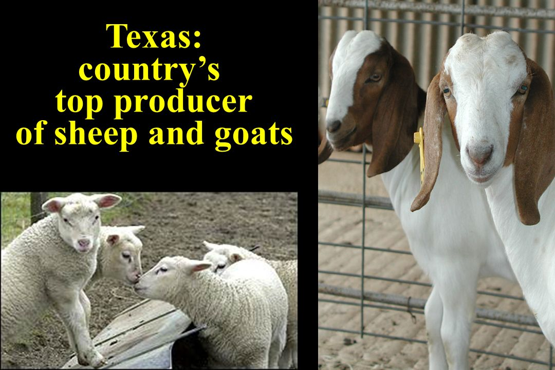 Texas: countrys top producer of sheep and goats