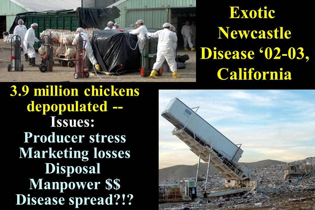 Exotic Newcastle Disease 02-03, California 3.9 million chickens depopulated -- Issues: Producer stress Marketing losses Disposal Manpower $$ Disease s
