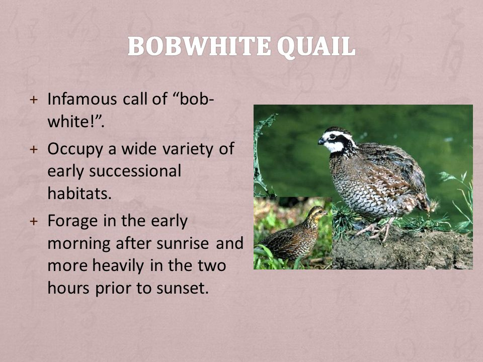 + Infamous call of bob- white!. + Occupy a wide variety of early successional habitats.