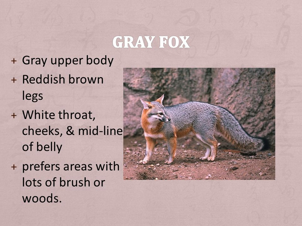 + Gray upper body + Reddish brown legs + White throat, cheeks, & mid-line of belly + prefers areas with lots of brush or woods.
