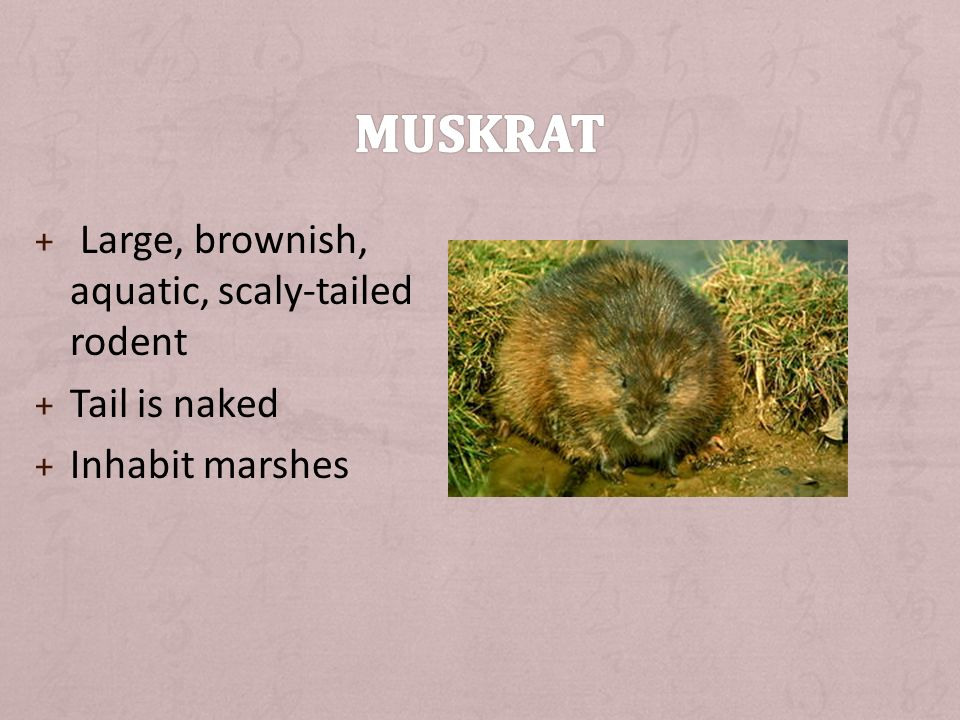 + Large, brownish, aquatic, scaly-tailed rodent + Tail is naked + Inhabit marshes