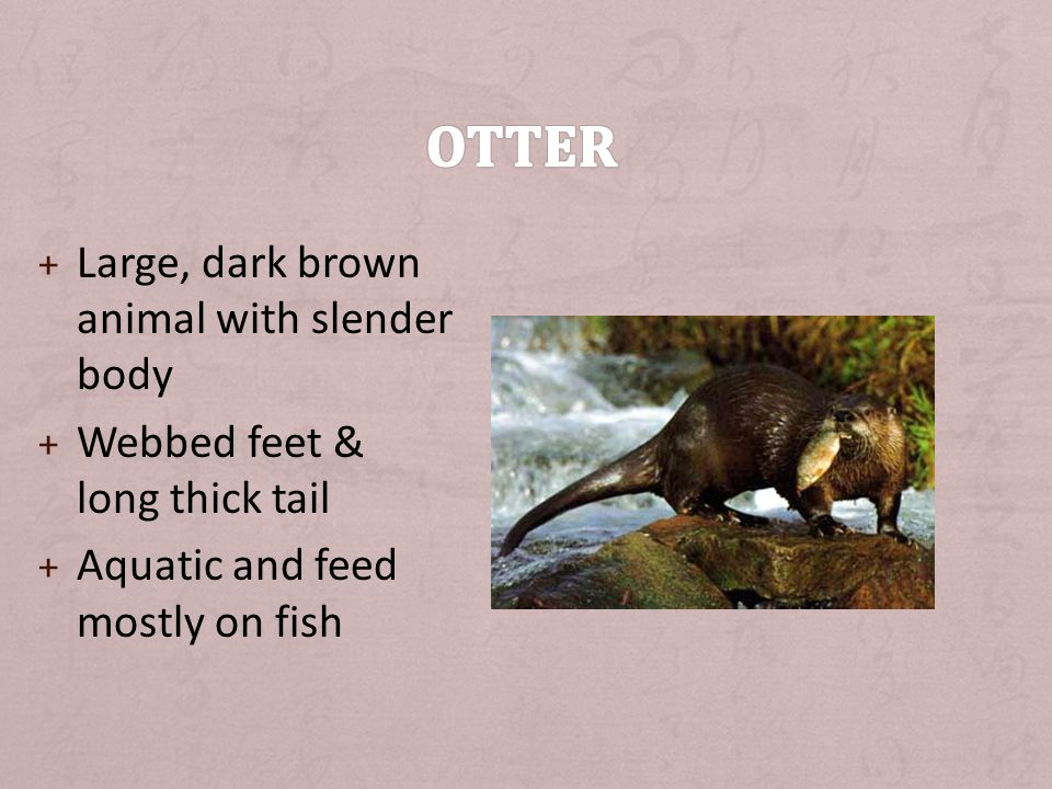 + Large, dark brown animal with slender body + Webbed feet & long thick tail + Aquatic and feed mostly on fish