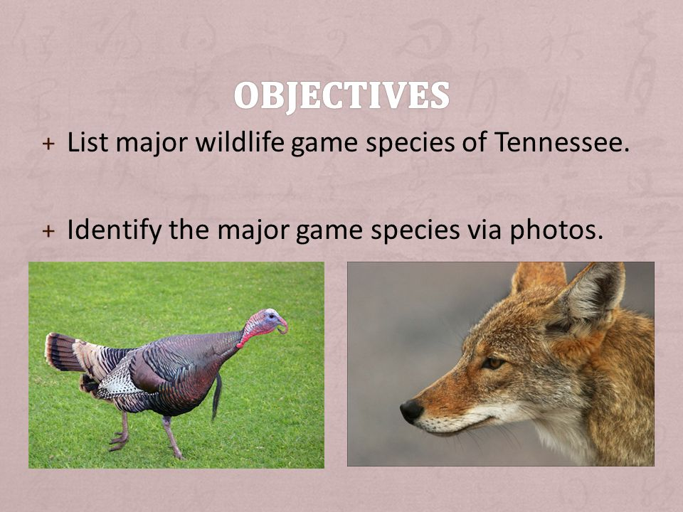 + List major wildlife game species of Tennessee. + Identify the major game species via photos.