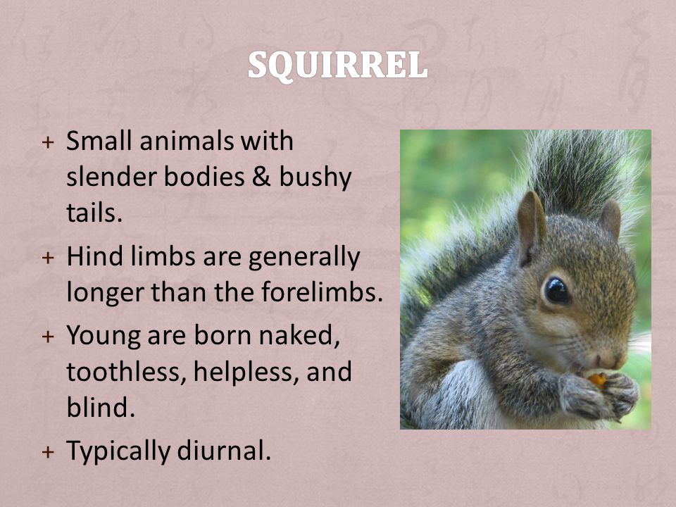 + Small animals with slender bodies & bushy tails.