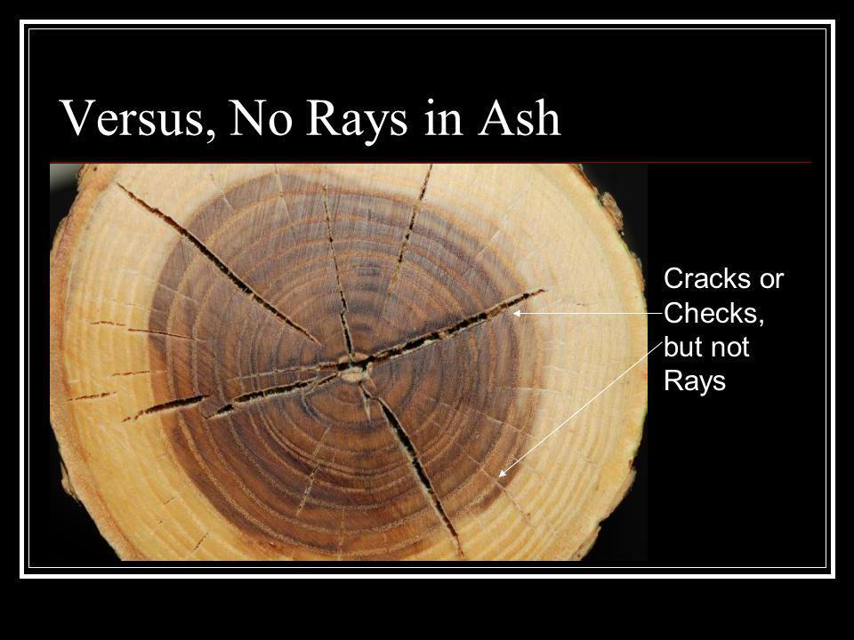 Versus, No Rays in Ash Cracks or Checks, but not Rays