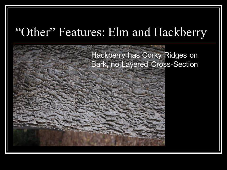 Other Features: Elm and Hackberry Hackberry has Corky Ridges on Bark, no Layered Cross-Section