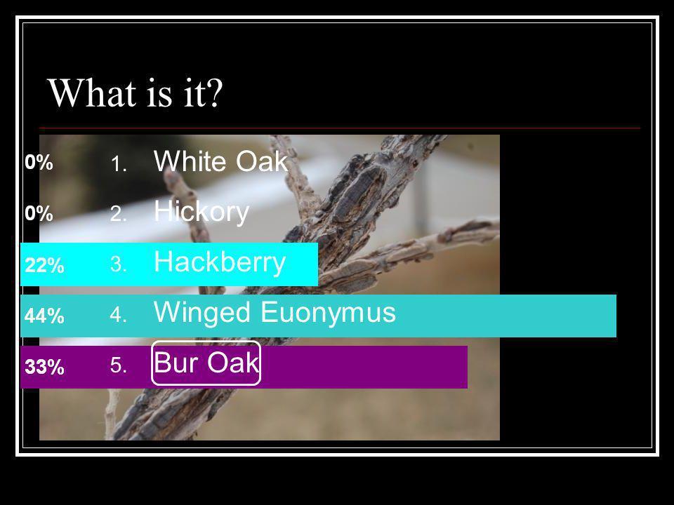 What is it? 1. White Oak 2. Hickory 3. Hackberry 4. Winged Euonymus 5. Bur Oak