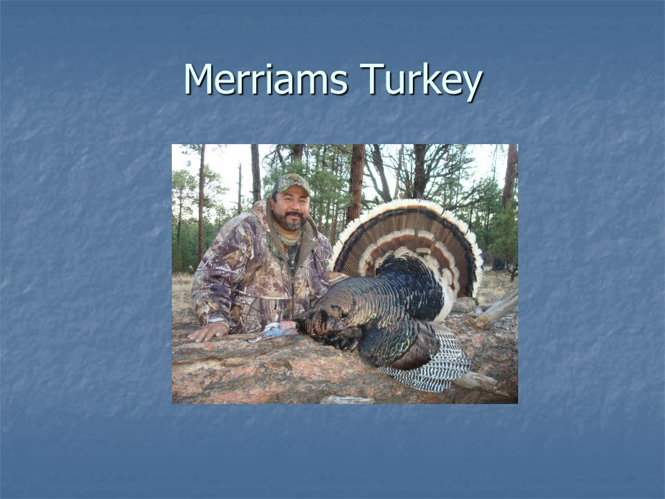 Merriams Turkey