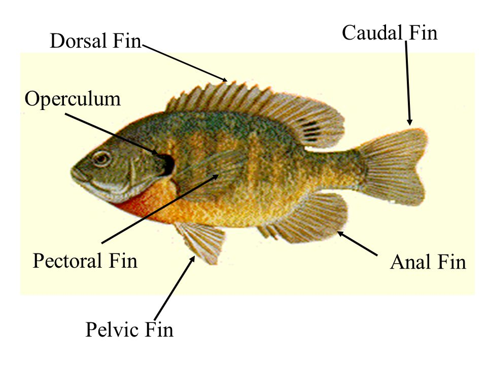 Dorsal Fin Caudal Fin Anal Fin Pelvic Fin Pectoral Fin Operculum