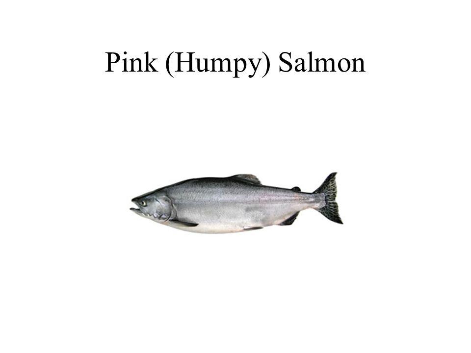 Pink (Humpy) Salmon