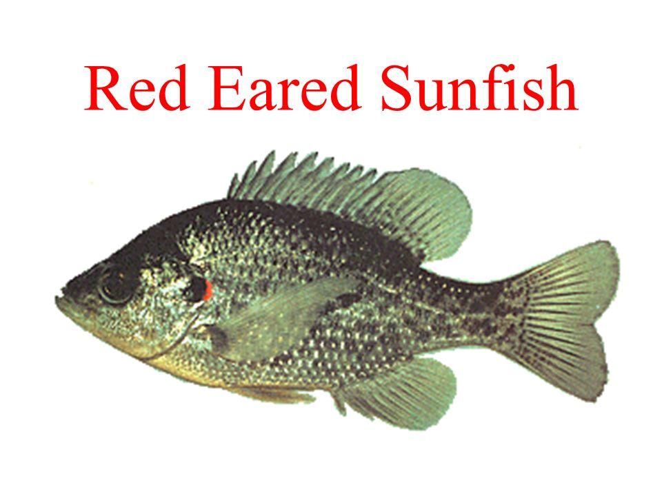 Red Eared Sunfish