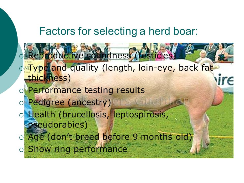 Factors for selecting a herd boar: Reproductive soundness (testicles) Type and quality (length, loin-eye, back fat thickness) Performance testing resu