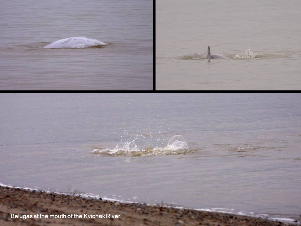 Belugas at the mouth of the Kvichak River