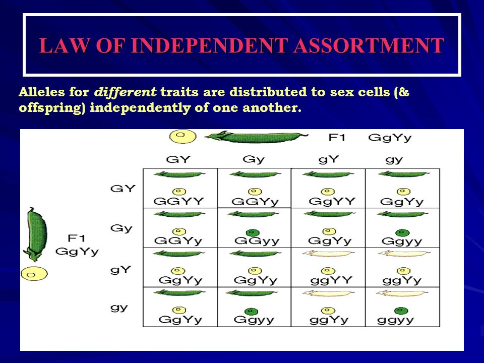 LAW OF INDEPENDENT ASSORTMENT Alleles for different traits are distributed to sex cells (& offspring) independently of one another.