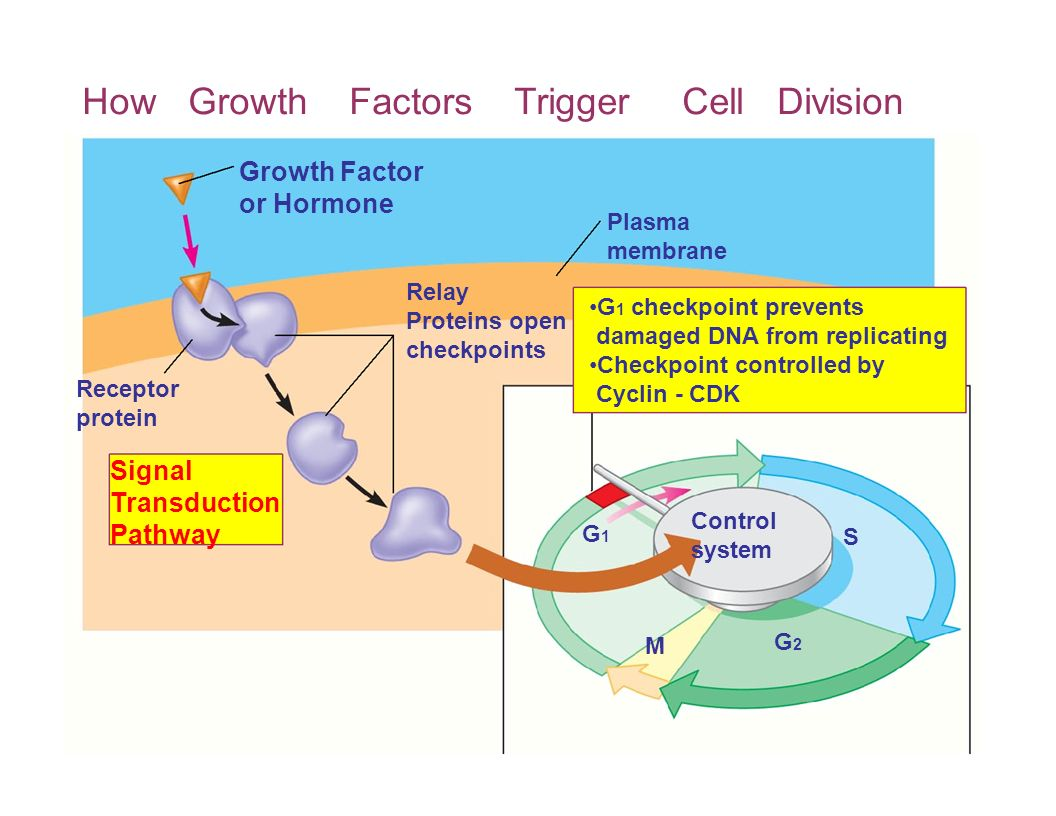 How Growth Factors Trigger Cell Division Growth Factor or Hormone Plasma membrane Receptor protein Relay G 1 checkpoint prevents Proteins open damaged