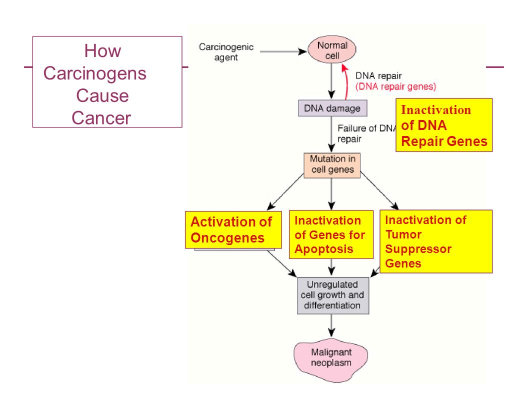 How Carcinogens Cause Cancer Inactivation of DNA Repair Genes Activation of Oncogenes Inactivation of Genes for Apoptosis Inactivation of Tumor Suppre
