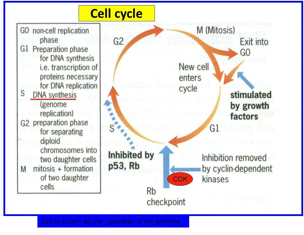 CDK p53 is known as the guardian of the genome Cell cycle