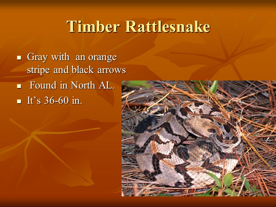 Timber Rattlesnake Gray with an orange stripe and black arrows Gray with an orange stripe and black arrows Found in North AL.