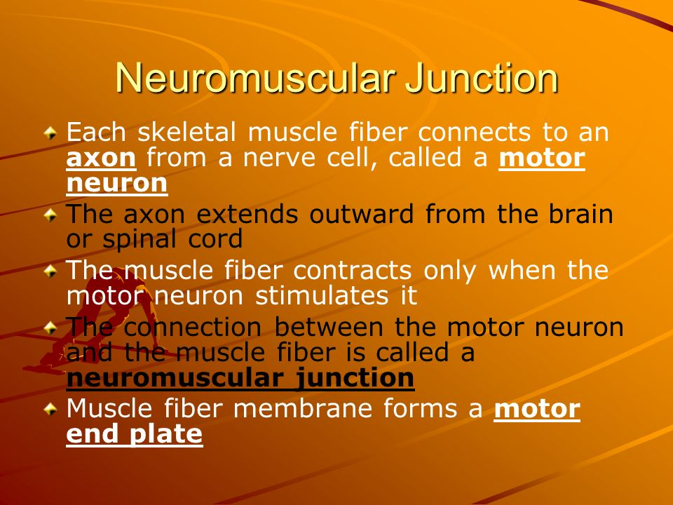 Neuromuscular Junction Each skeletal muscle fiber connects to an axon from a nerve cell, called a motor neuron The axon extends outward from the brain