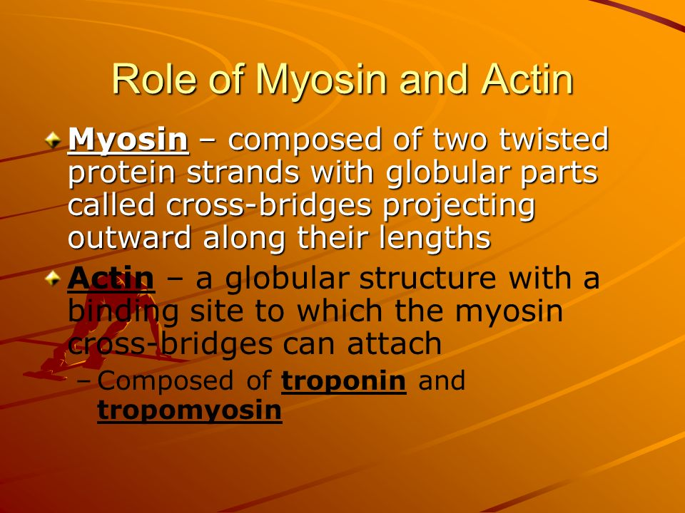 Role of Myosin and Actin Myosin – composed of two twisted protein strands with globular parts called cross-bridges projecting outward along their leng