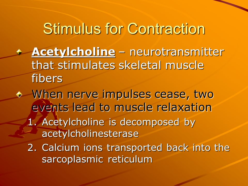 Stimulus for Contraction Acetylcholine – neurotransmitter that stimulates skeletal muscle fibers When nerve impulses cease, two events lead to muscle