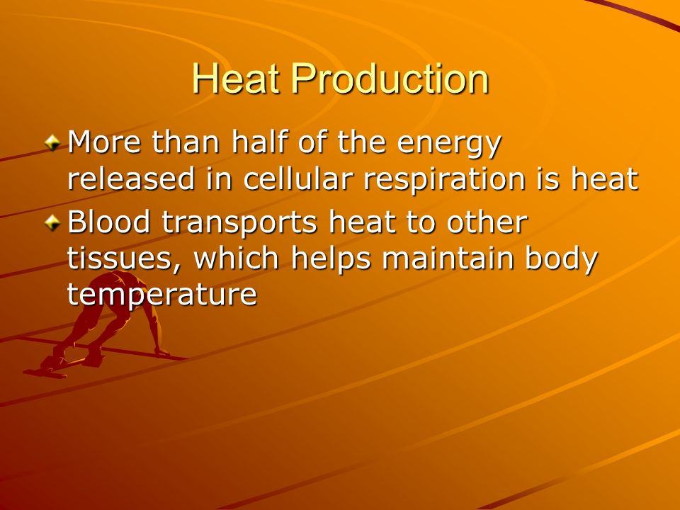 Heat Production More than half of the energy released in cellular respiration is heat Blood transports heat to other tissues, which helps maintain bod