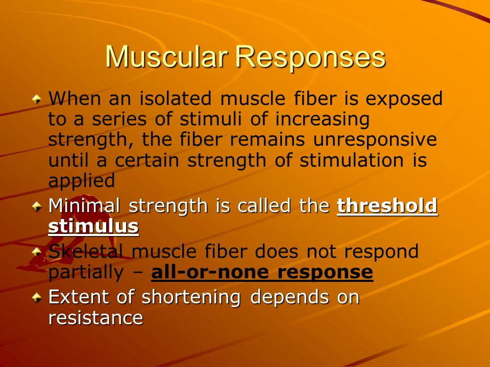 Muscular Responses When an isolated muscle fiber is exposed to a series of stimuli of increasing strength, the fiber remains unresponsive until a cert