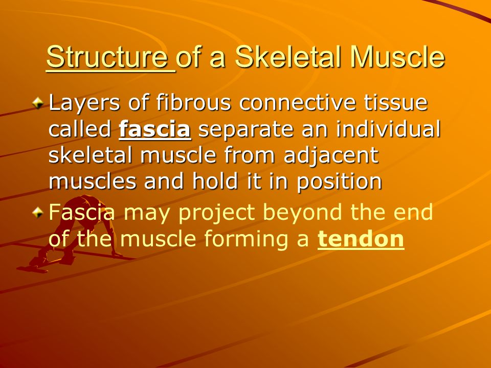 Structure Structure of a Skeletal Muscle Structure Layers of fibrous connective tissue called fascia separate an individual skeletal muscle from adjac