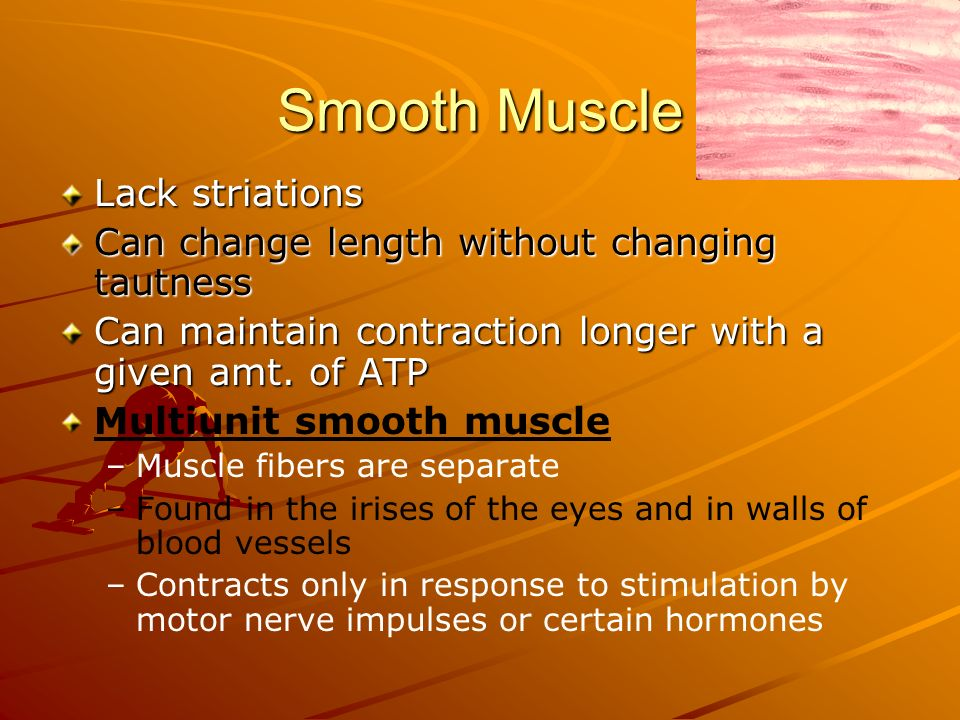 Smooth Muscle Lack striations Can change length without changing tautness Can maintain contraction longer with a given amt. of ATP Multiunit smooth mu