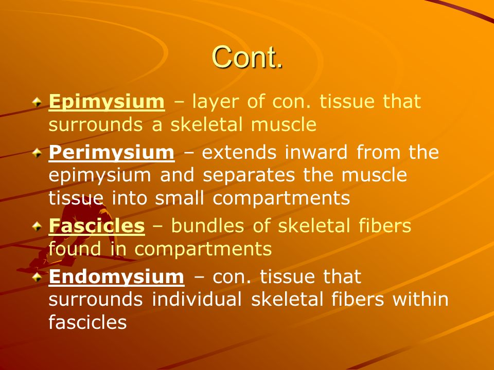 Cont. Epimysium – layer of con. tissue that surrounds a skeletal muscle Perimysium – extends inward from the epimysium and separates the muscle tissue