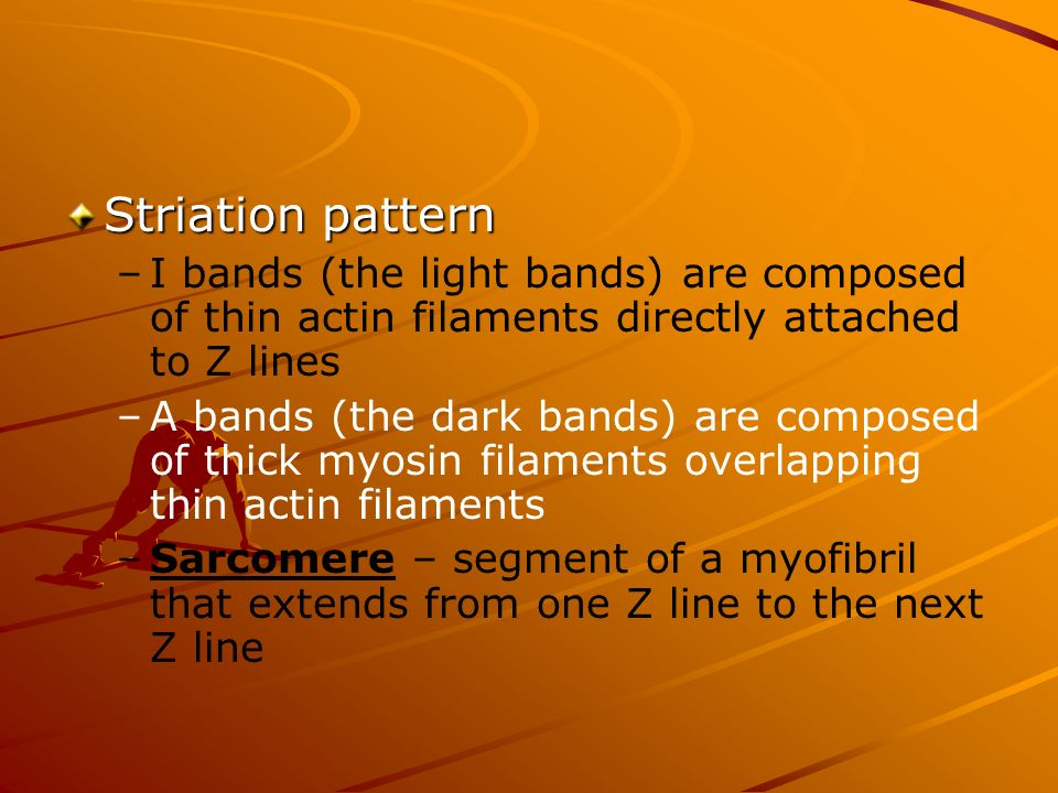 Striation pattern – –I bands (the light bands) are composed of thin actin filaments directly attached to Z lines – –A bands (the dark bands) are compo