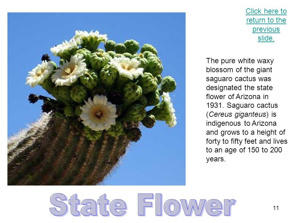 10 The ringtail (Bassariscus astutus) was designated the state mammal of Arizona in 1986.