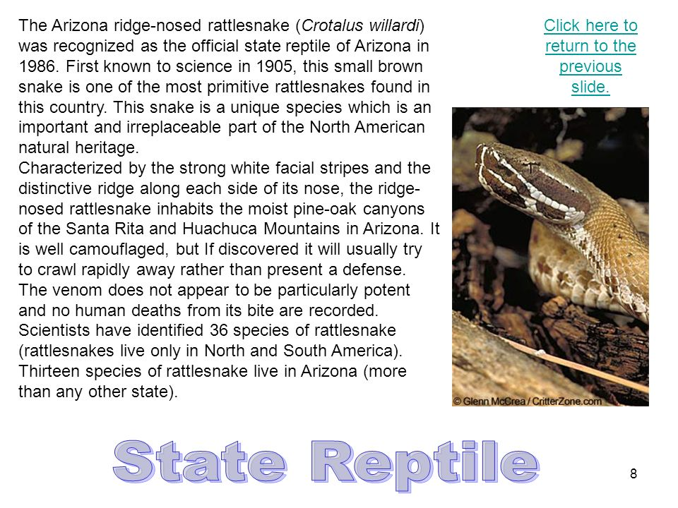 7 The critically endangered Apache trout (Oncorhynchus apache) was designated the state fish of Arizona in 1986.