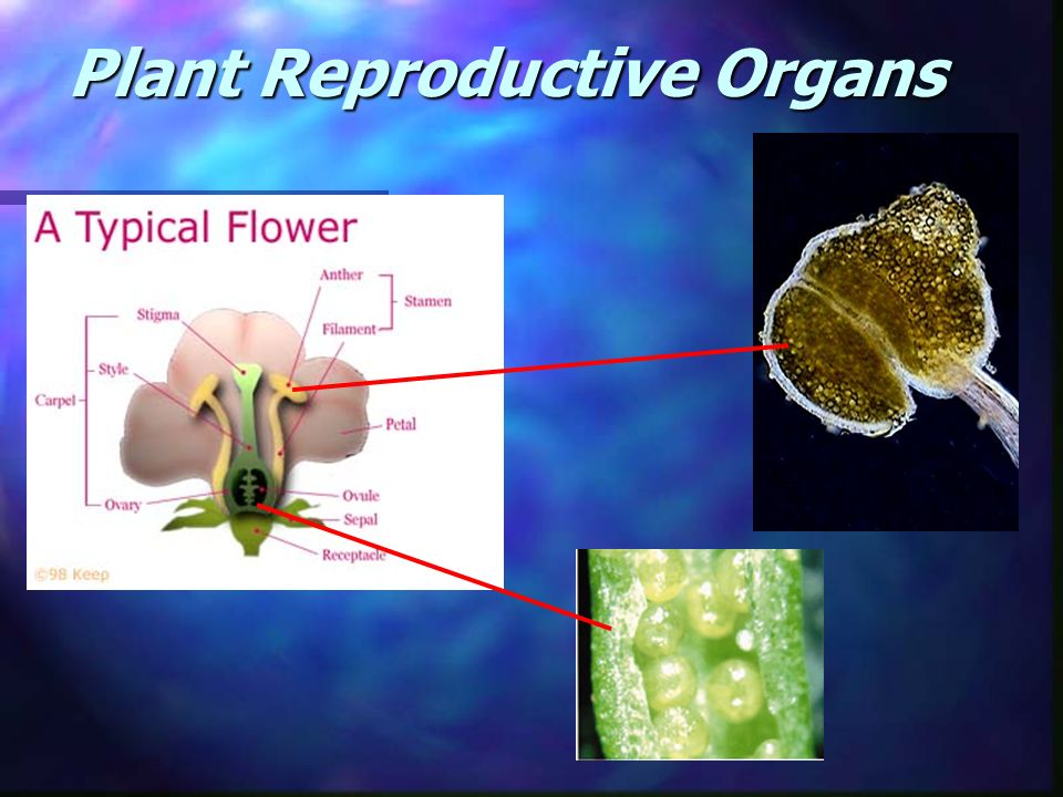 Plant reproductive terms n GAMETES - Male or Female sex cell. In plants, pollen (male) and ovule (female). n FERTILIZATION- Fusion of the male and fem