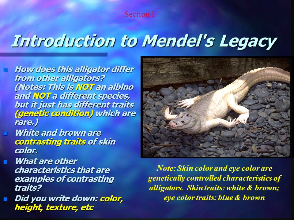 Mendel s Results and Conclusions n Recessive and Dominant Traits –Mendel concluded that inherited characteristics are controlled by factors that occur in pairs.