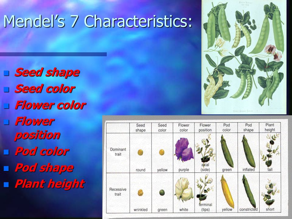 Mendels Experiment n Observe the pea plants in the given image. n List the noticeable characteristics of the pea plants: n See the next slide